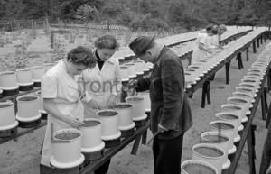 Frauen pflanzen Setzlinge 1955 | Planting seedling in 1955