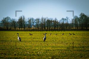 Kraniche Frühjahr Crane Spring