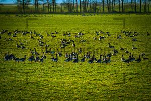 Flying Wild Gees, fliegende Wildgänse