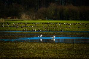 Wild Gees: Oderbruch