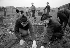Kartoffelernte Jugendliche Erntehelfer   Potatoes harvest in 1964