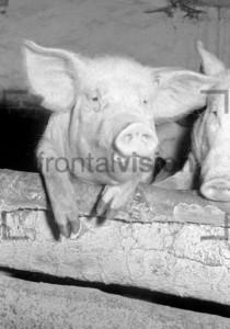 Schweinezucht pig breeding
