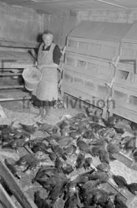 Taubenzucht Bauernhof
