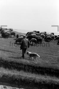 Schafe mit Schäfer auf Hiddensee