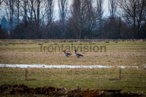 Wildgänse, Wild Geese im Oderbruch