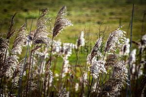 Schilf Landschaft Reed Oderbruch